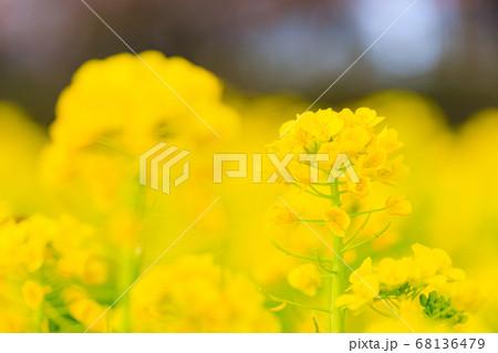 キレイに咲く菜の花 68136479