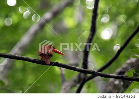 後ろ向きで枝に止まっているアカショウビン 68144353