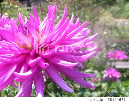 セミカクタスダリアの桃色の花 68144671