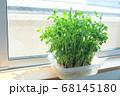 窓際で栽培する豆苗 68145180