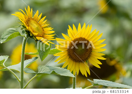 ヒマワリのクローズアップと真夏のイメージ 68153314