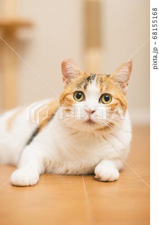 床に座る三毛猫 68155168