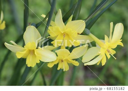 スプリットコロナスイセンの黄色い花 68155182