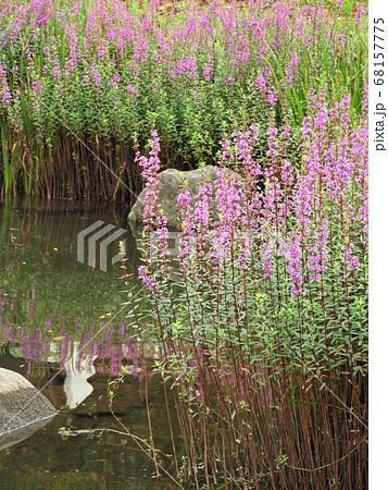 水辺に群生するミソハギ 68157775