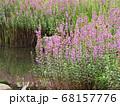 水辺に群生するミソハギ 68157776