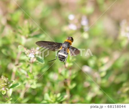 クリーピングタイムの蜜を求めてやってきたオオハナアブ 68158044
