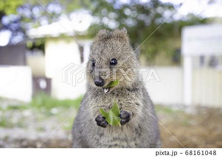 世界一幸せな動物のクォッカがロットネスト島で笑顔で美味しい葉っぱを食べる様子 68161048