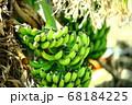 沖永良部島の島バナナ 68184225