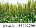 緑鮮やかな麦畑の小麦 (5月) 小麦 68202799