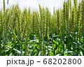 緑鮮やかな麦畑の小麦 (5月) 小麦 68202800