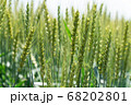 緑鮮やかな麦畑の小麦 (5月) 小麦 68202801