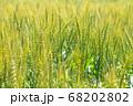 緑鮮やかな麦畑の小麦 (5月) 小麦 68202802