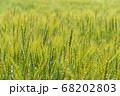 緑鮮やかな麦畑の小麦 (5月) 小麦 68202803