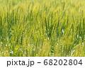 緑鮮やかな麦畑の小麦 (5月) 小麦 68202804