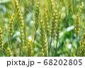 緑鮮やかな麦畑の小麦の穂 (5月) 小麦 68202805
