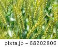 緑鮮やかな麦畑の小麦の穂 (5月) 小麦 68202806