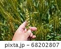 緑鮮やかな麦畑の小麦の穂をチェックする男性 麦畑 (5月) 68202807