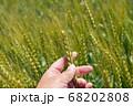 緑鮮やかな麦畑の小麦の穂をチェックする男性 麦畑 (5月) 68202808