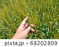 緑鮮やかな麦畑の小麦の穂をチェックする男性 麦畑 (5月) 68202809