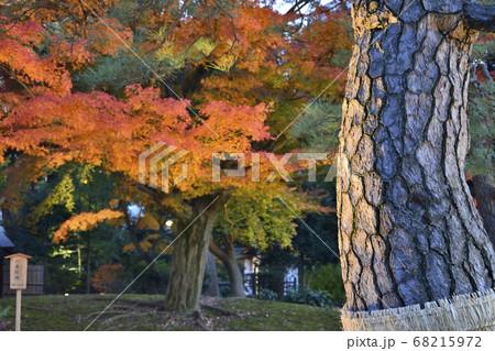 夕方にライトアップされた紅葉の葉と樹木 68215972