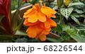 クロッサンドラ 68226544