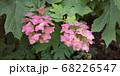 カシワバアジサイ ピンク 68226547