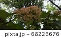 カシワバアジサイ 68226676