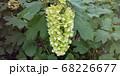 カシワバアジサイ 68226677