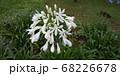 アガパンサス 白 68226678