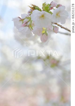 美しい色のさくら (静香桜 シズカ さくら 名古屋市 東山動植物園) 68231178
