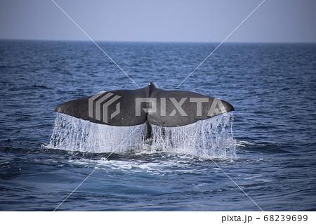 マッコウクジラ尾びれ 68239699