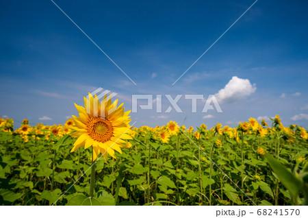 晴天の夏の阿蘇に咲く黄色いひまわりの花 68241570