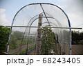 トマト雨除け栽培 68243405