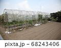トマト雨除け栽培 68243406