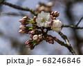 京都の桜 68246846
