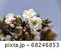 京都の桜 68246853