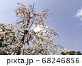京都の桜 68246856