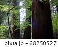 ロマンチック茨城(巨大杉の巨木たち、この自然が万葉の筑波山の歴史を紡いできた。)筑波山、登山道 68250527