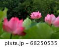 ロマンチック茨城(古河市は万葉集にも歌われる日光街道の宿場町で栄えた。ここ公方公園の大賀ハスの開花) 68250535