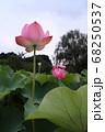 ロマンチック茨城(古河市公方公園に見事な花を開花させる大賀ハス、天空を仰ぎ見る。) 68250537