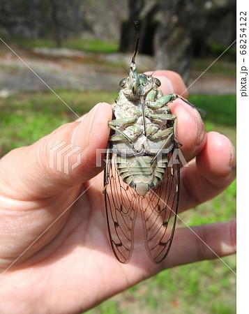ミンミンゼミ(雄)の腹側:手に持った大きさの分かる写真 68254122