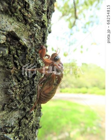 木を登るミンミンゼミの幼虫 68254815