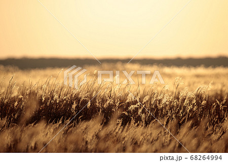 秋の日暮れのススキ野原 68264994