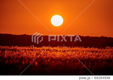 秋の日暮れのススキ野原 68264998