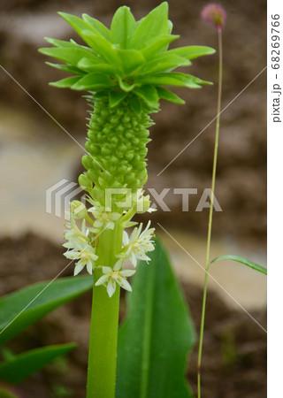 白い花の咲き始めたパイナップルリリー 68269766