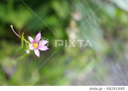 小さな庭石菖の花の全体が写っている写真 68281680