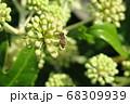 ヤツデの実にて蜜を採集するミツバチ 68309939