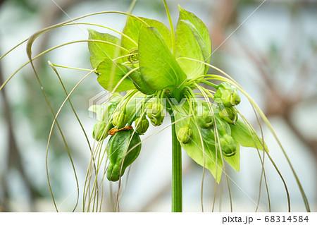 タシロイモ(田代芋、学名:Tacca leontopetaloides)別名:ポリネシアン・アロール 68314584