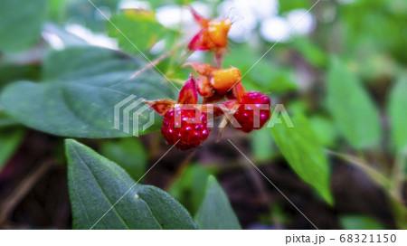 緑の中にちょこんと咲いている赤い木の実 68321150