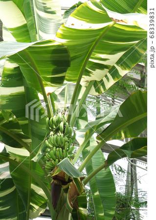 縞模様がきれいな斑入りバナナの実と巨大な葉 68339831